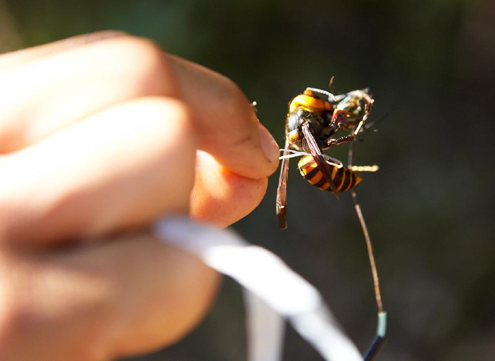 オオスズメバチの蜂追い
