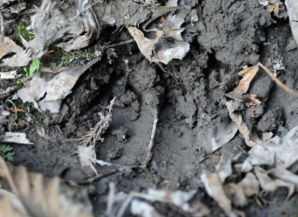 くくり罠猟 足跡